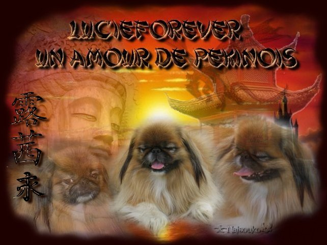 p�kinois, pekinois, chiots p�kinois, p�kinoise, chien p�kinois, �pagneul, lucieforever,